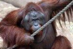 Самка орангутана привлекла самца-киллера для убийства соперницы