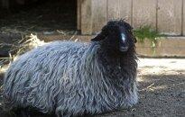 Karakulio veislės avis zoologijos sode (CC-SA Smooth_O nuotr. )