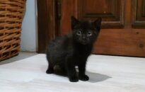 Dovanojama mažytė daili katytė
