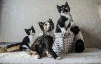 Žavingai kačiukų trijulei reikalingi šeimininkai