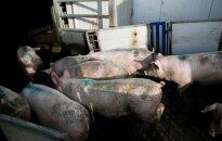 Из-за свиной чумы в Шальчининкском районе объявлено экстремальное положение