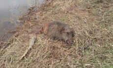 Пограничники обнаружили убитую браконьерами косулю и утонувшего кабана