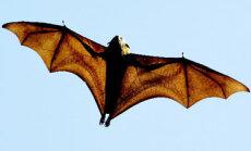 Australietiškas šikšnosparnis