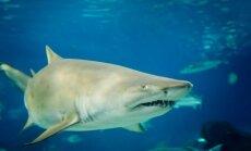 Smėlinis tigrinis ryklys