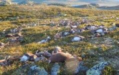 В Норвегии от удара молнии погибли 323 оленя