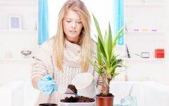 Kada geriausias laikas persodinti kambarines gėles?