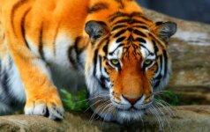 Interneto hitas: tigrė, žaidžianti su dvejų metų vaiku VIDEO