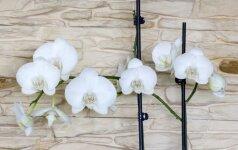 Orchidėjų dauginimas: kurį būdą rinktis, kad tikrai prigytų?