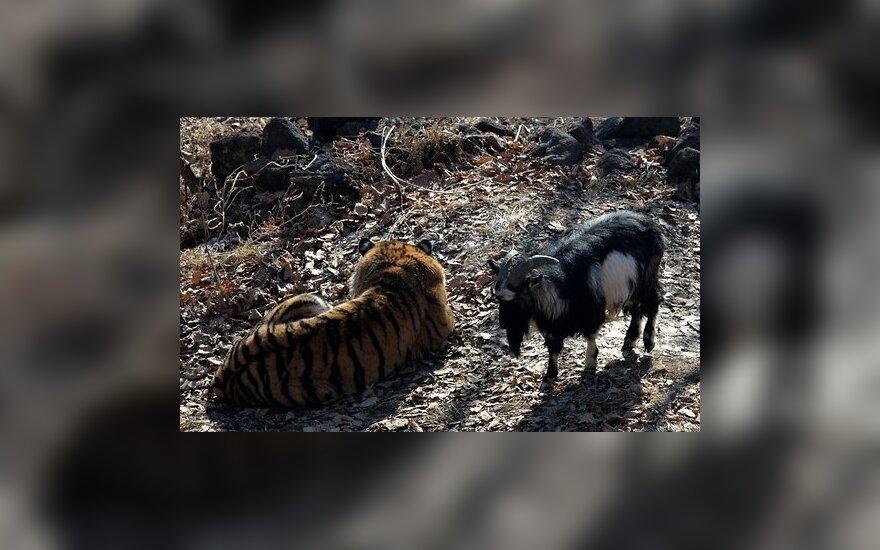 СМИ: история дружбы тигра Амура и козла Тимура оказалась фейком