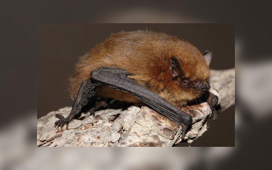 Kalėdų salų šikšnosparnis