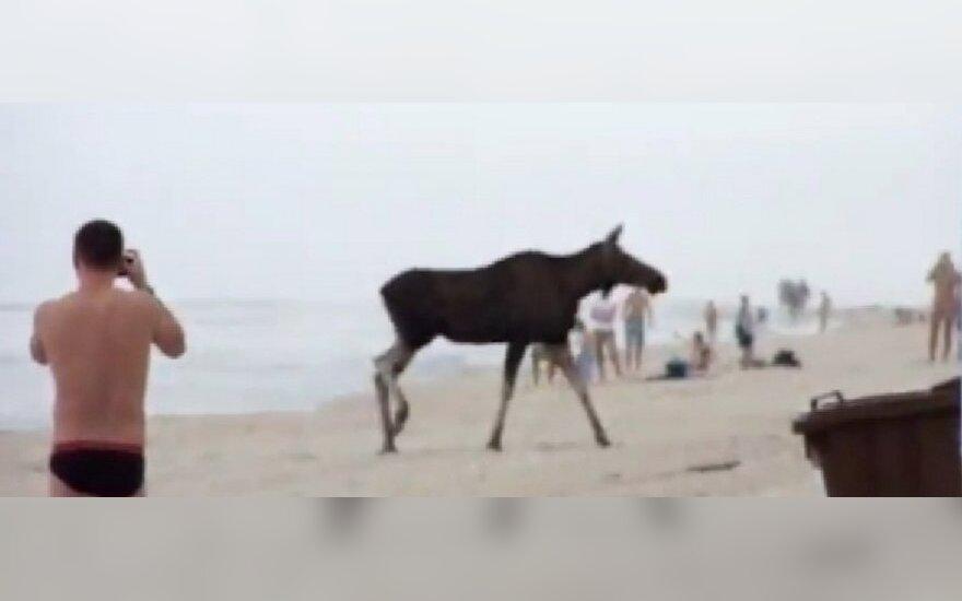 Briedis Nidos paplūdimyje