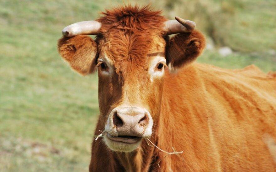 Про целлюлозу, биотопливо и коровий желудок