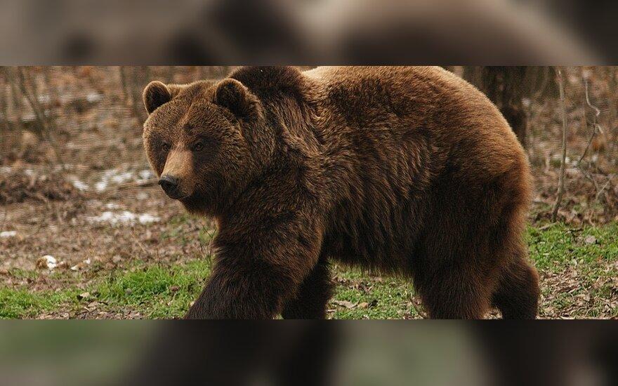 Сбежавшую в Латвии медведицу нашли