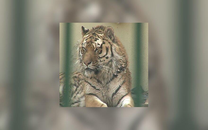 Tigras Kauno zoologijos sode