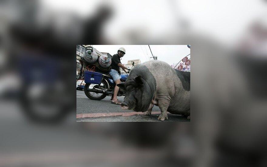 USA: Świnie zjadły farmera