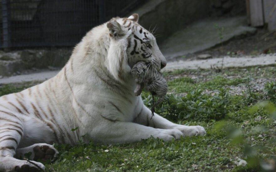 Ukrainoje pasaulį išvydo retų baltųjų tigrų jaunikliai