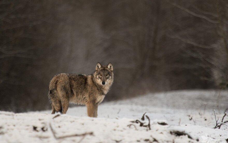 На части территории Литвы прекращена охота на волков