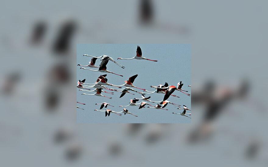 Flamingų pulkas skrenda virš Nalsarovaro paukščių rezervato Indijoje.