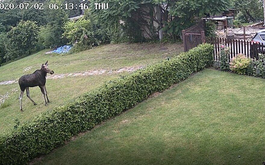 Жители Каунаса сняли на видео лося, гуляющего у них во дворах