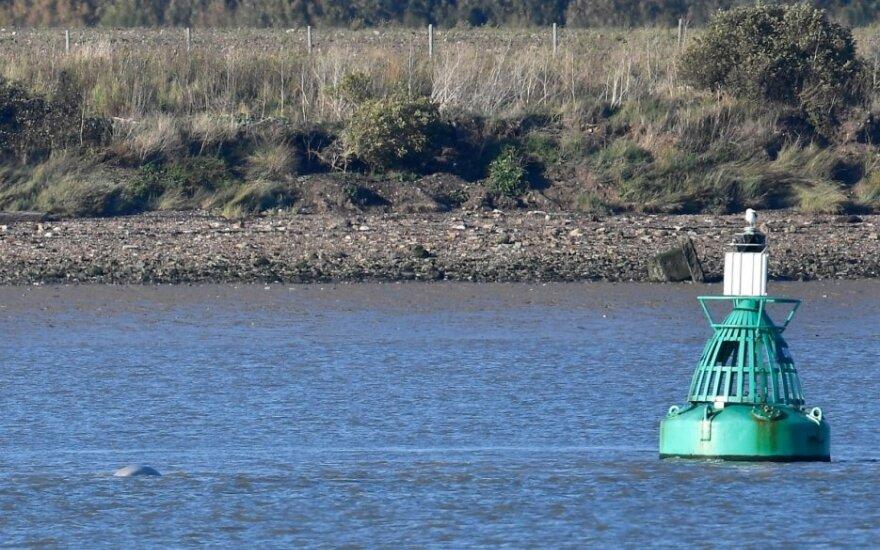 Temzės upėje netoli Londono užfiksuotas baltojo banginio vizitas