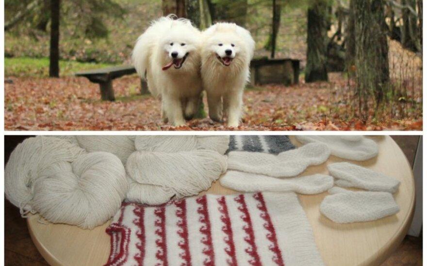 Samojedų šunys ir iš jų vilnos gimstantys mezginiai