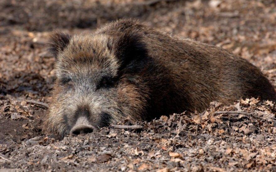 Afrykański pomór świń już w Polsce