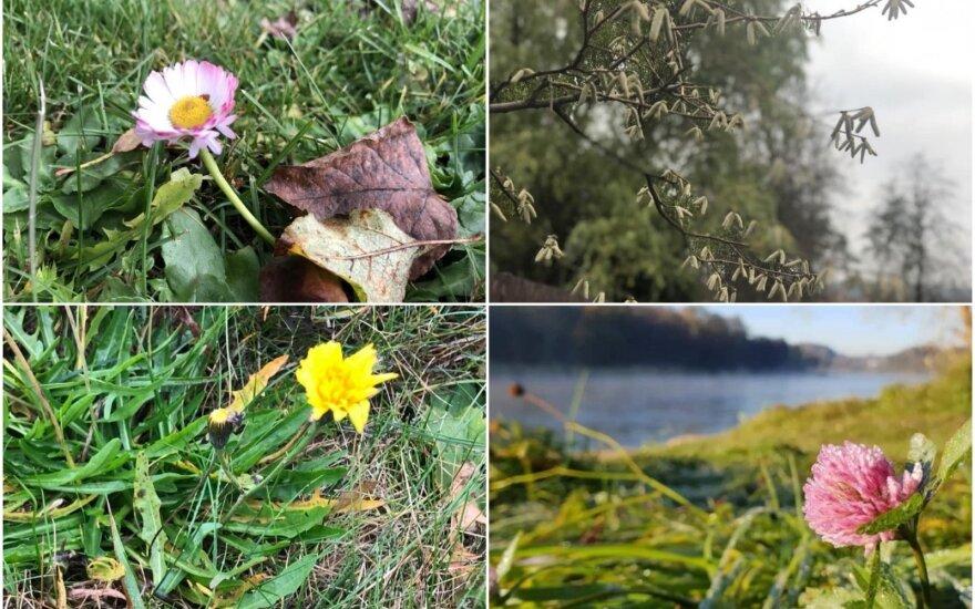Pavasario ženklai rudenį
