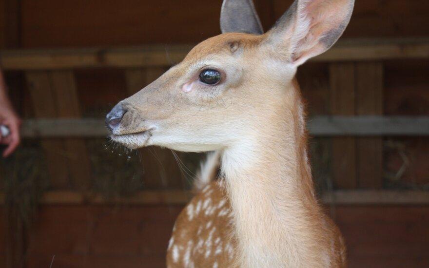 На оленеводческой ферме найден мертвый олень, подозревают, что животное застрелили