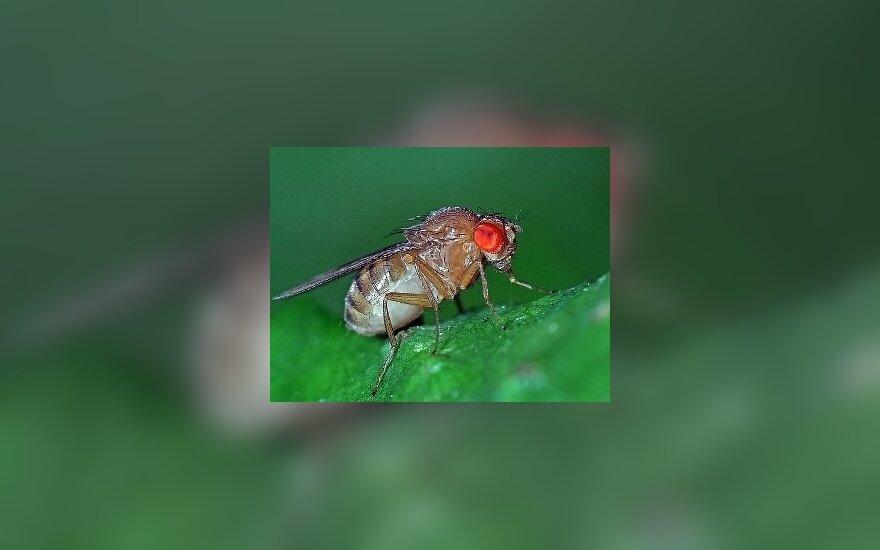 Drosophila immigrans. Фото Christophe Quintin