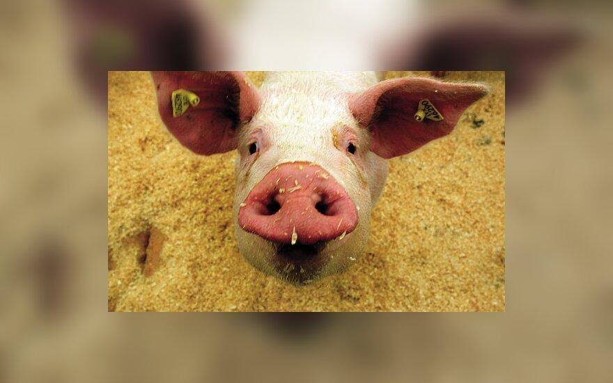Кризис добрался и до свиноводов