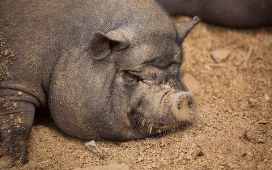 Rosjanie sprawdzą polskie i litewskie świnie