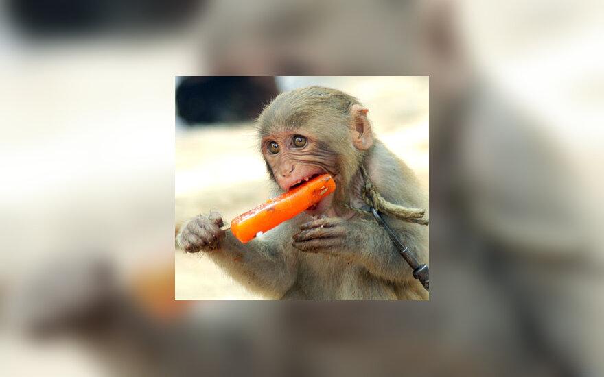 Dresuota beždžionėlė karštą dieną ėda ledus