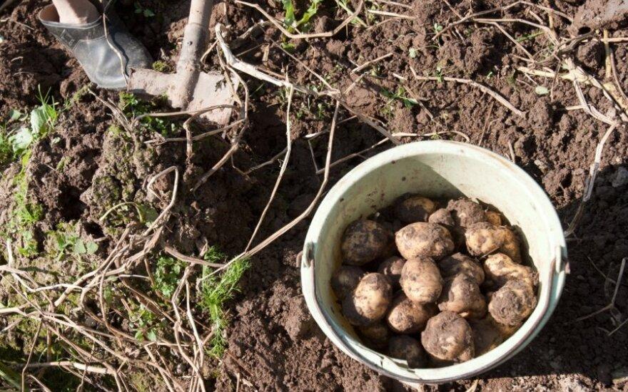 Начинают копать первый литовский молодой картофель