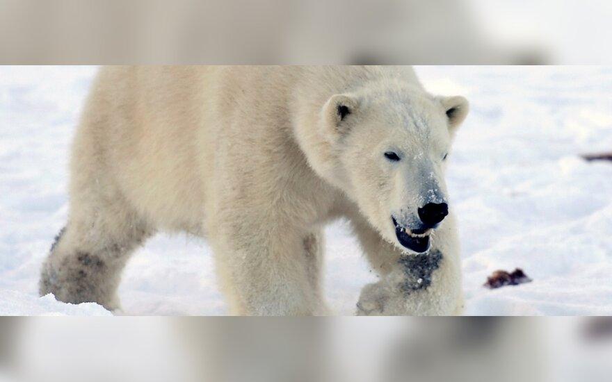 В России запрещена охота на белых медведей