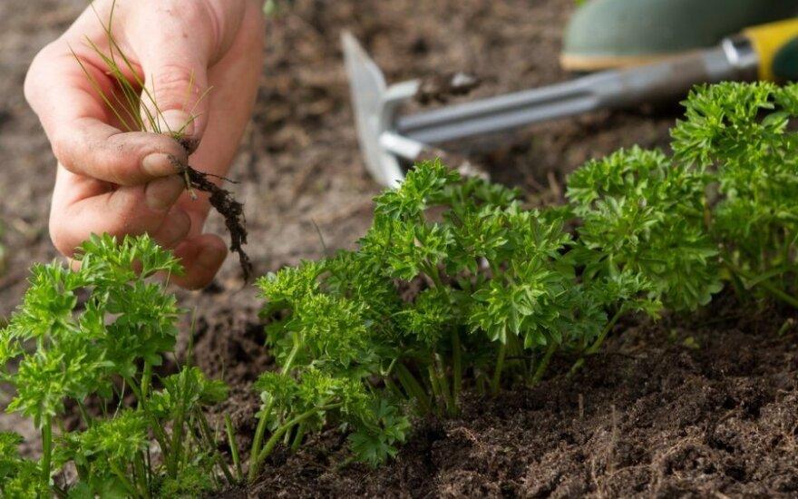 Овощеводы не могут найти работников для прополки