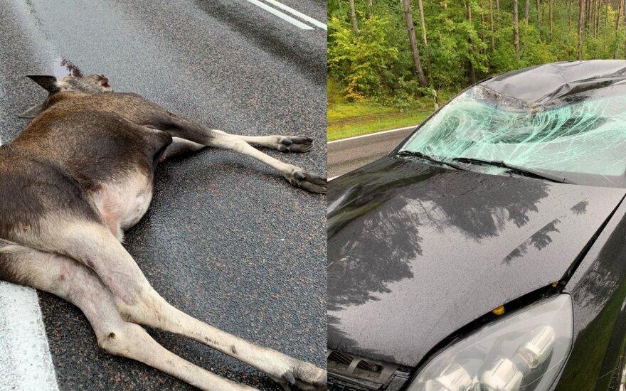 В Тракайском районе лось выбежал на дорогу: машина разбита, животное погибло