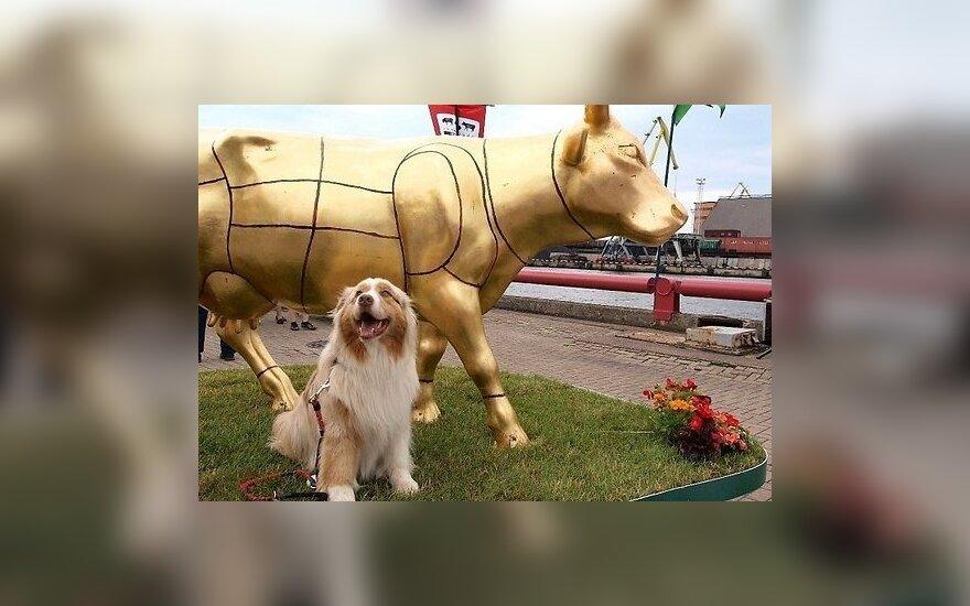 Парад коров в Вентспилсе