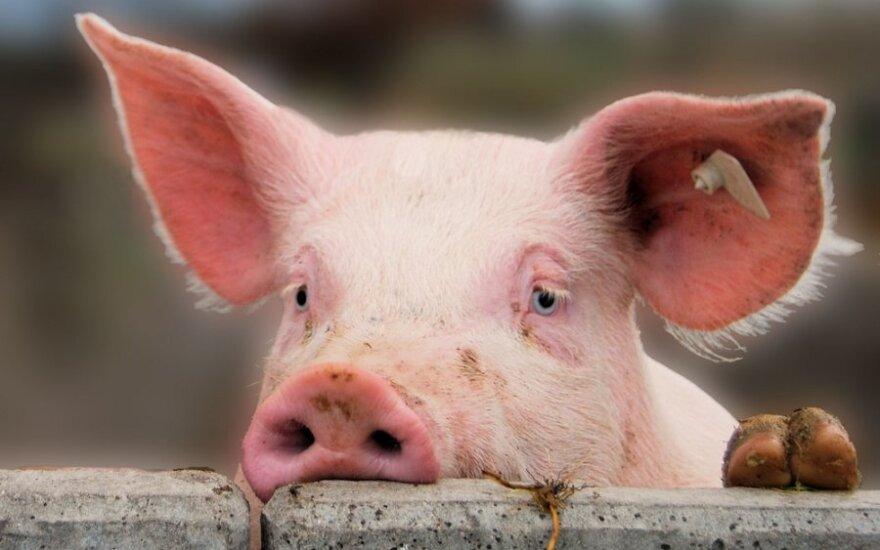 На границе Литвы с Беларусью предлагается уничтожить всех свиней