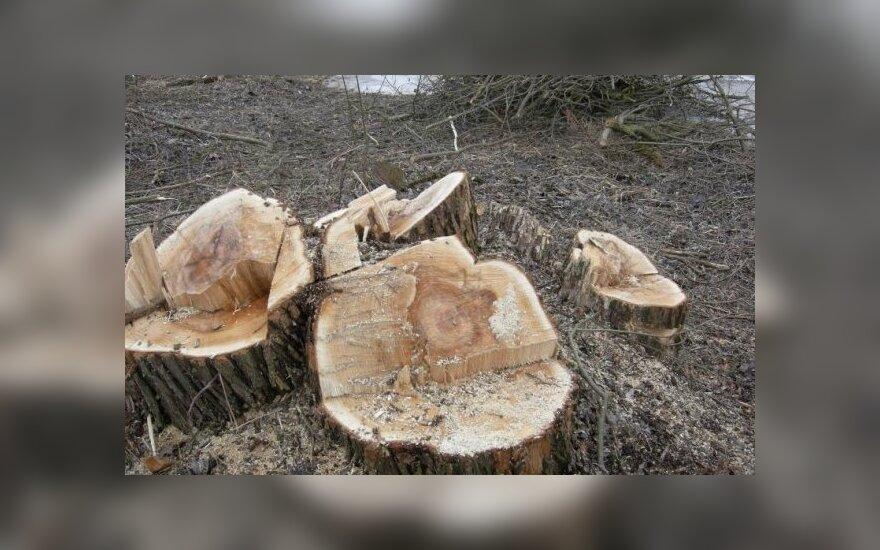 Alytaus regione neteisėtai iškirsti medžiai