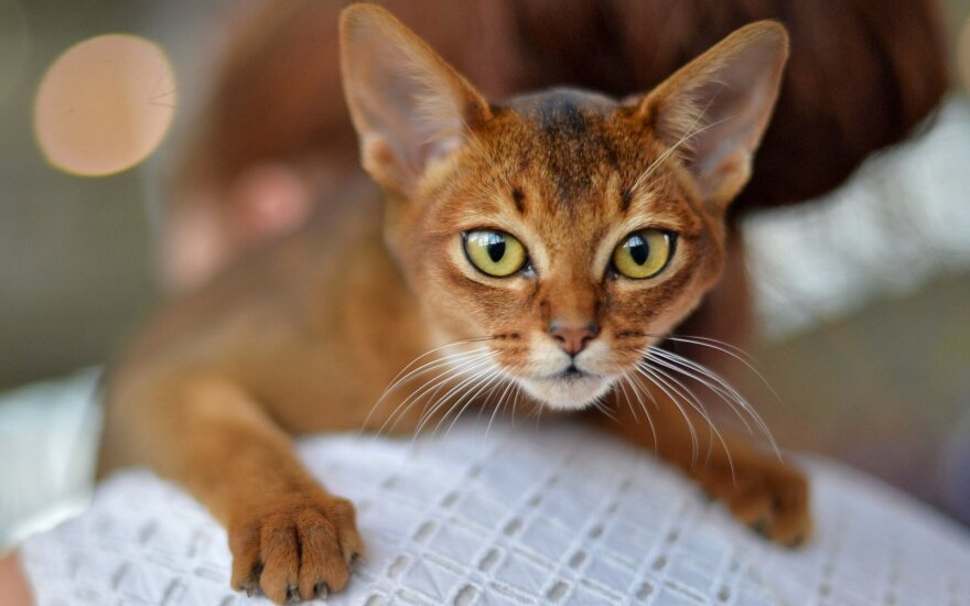 Populiariausios kačių veislės