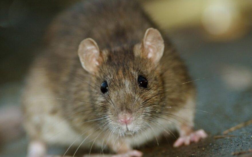 Нашествие крыс вызвало панику на борту индийского самолета