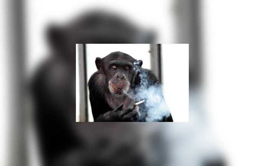 Niemcy: Z hanowerskiego zoo uciekło pięć szympansów
