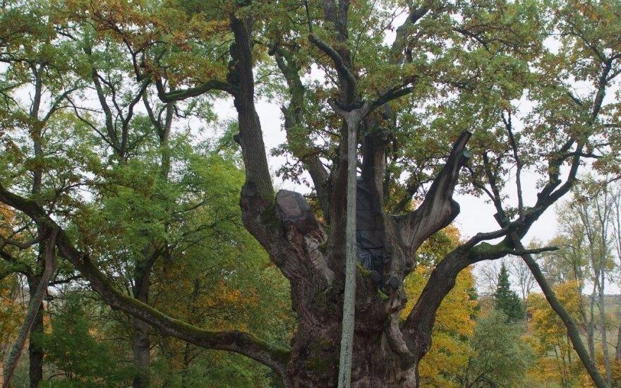 В Японию посылают клон знаменитого Стелмужского дуба
