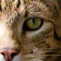 Naminės katės, Afrikos servalo ir Azijos leopardo hibridas, kainuojantis 22 tūkst. JAV dolerių.