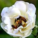 Širšės gėlės žiede