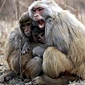 Beždžionė gina savo atžalas