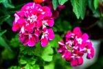 Patarimai, kaip prižiūrėti gėles