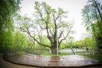 Stelmužės ąžuolas – Europos metų medžio konkurse