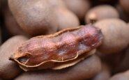 Tamarindo vaisius – ruda ir apvali ankštis, jos viduje galima rasti saldų minkštimą…