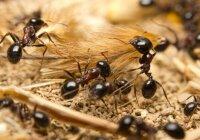 skruzdėlės ant varpos